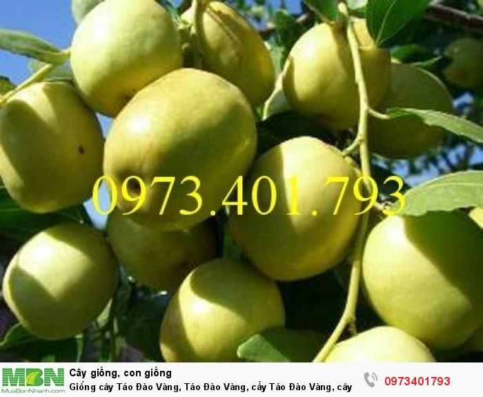 Giống cây Táo Đào Vàng, Táo Đào Vàng, cây Táo Đào Vàng, cây táo, kĩ thuật trồng táo đào vàng0