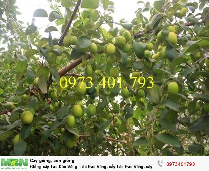 Giống cây Táo Đào Vàng, Táo Đào Vàng, cây Táo Đào Vàng, cây táo, kĩ thuật trồng táo đào vàng2