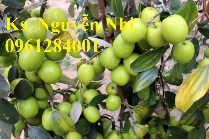 Bán giống táo D28, chuẩn giống, số lượng lớn, giao cây toàn quốc5