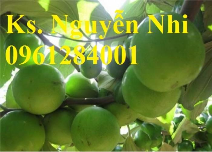 Bán giống táo D28, chuẩn giống, số lượng lớn, giao cây toàn quốc7