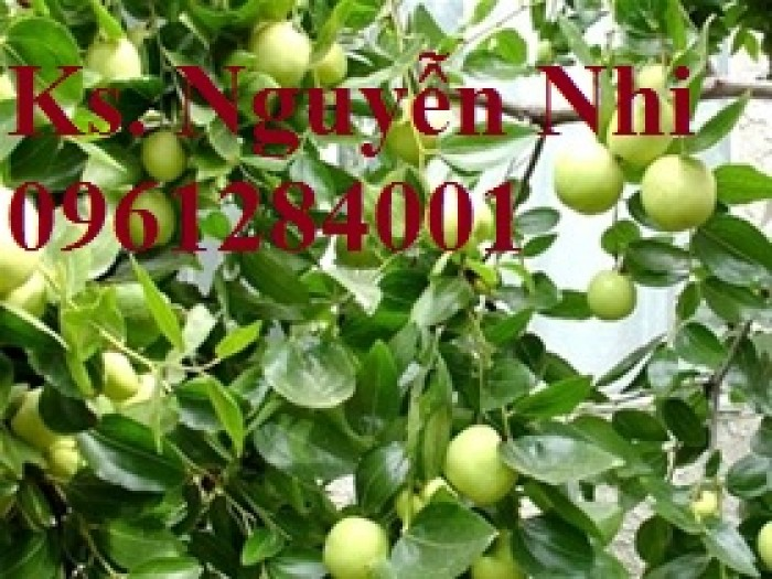 Bán giống táo D28, chuẩn giống, số lượng lớn, giao cây toàn quốc8