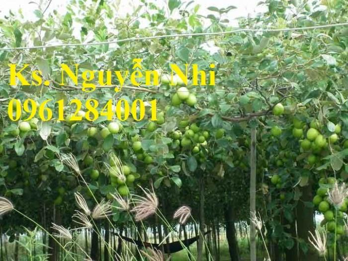 Bán giống táo D28, chuẩn giống, số lượng lớn, giao cây toàn quốc10