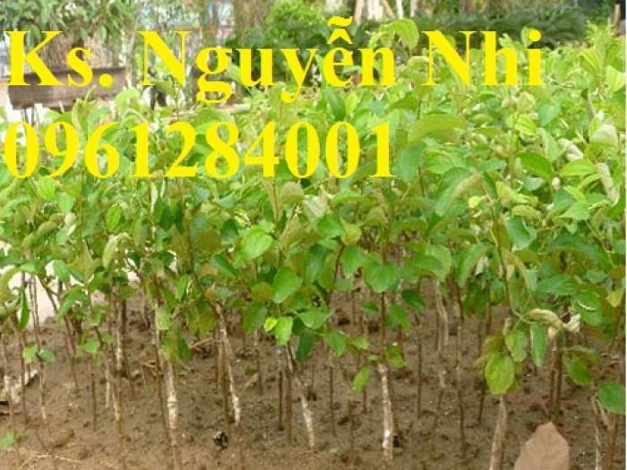 Bán giống táo D28, chuẩn giống, số lượng lớn, giao cây toàn quốc12