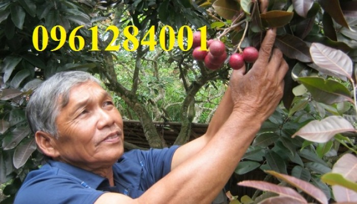 Bán cây giống nhãn tím, nhãn không hạt, chuẩn giống, giao cây toàn quốc.5