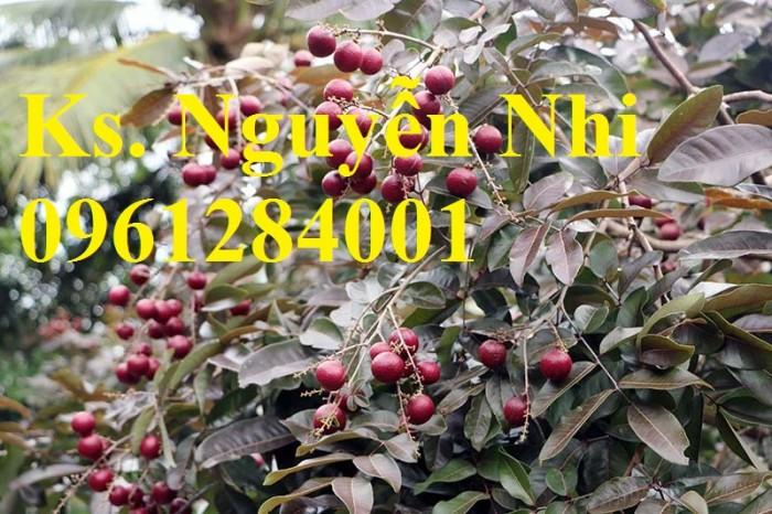 Bán cây giống nhãn tím, nhãn không hạt, chuẩn giống, giao cây toàn quốc.8