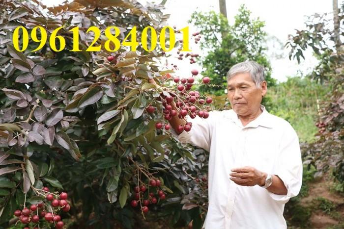 Bán cây giống nhãn tím, nhãn không hạt, chuẩn giống, giao cây toàn quốc.9
