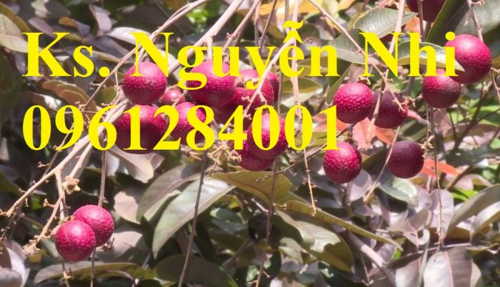 Bán cây giống nhãn tím, nhãn không hạt, chuẩn giống, giao cây toàn quốc.11