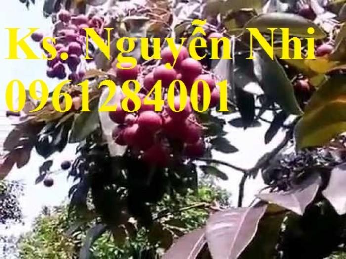 Bán cây giống nhãn tím, nhãn không hạt, chuẩn giống, giao cây toàn quốc.12