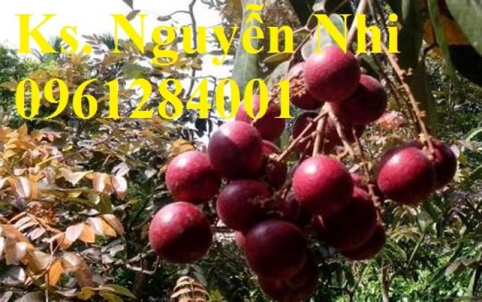 Bán cây giống nhãn tím, nhãn không hạt, chuẩn giống, giao cây toàn quốc.13