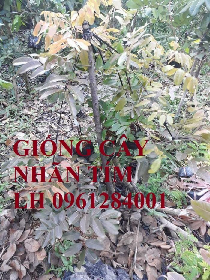 Bán cây giống nhãn tím, nhãn không hạt, chuẩn giống, giao cây toàn quốc.15