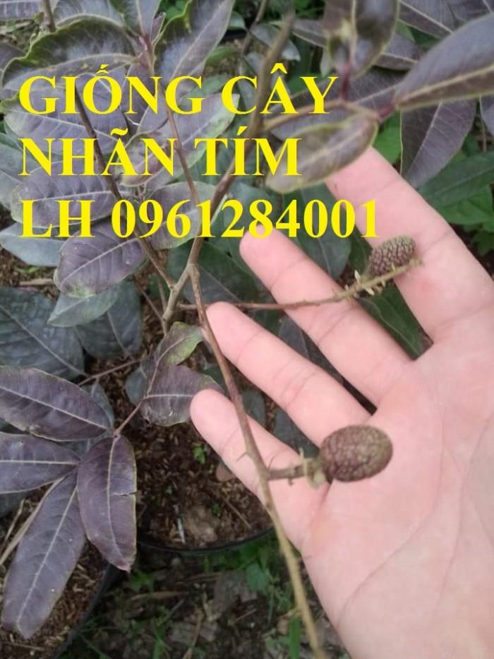 Bán cây giống nhãn tím, nhãn không hạt, chuẩn giống, giao cây toàn quốc.20