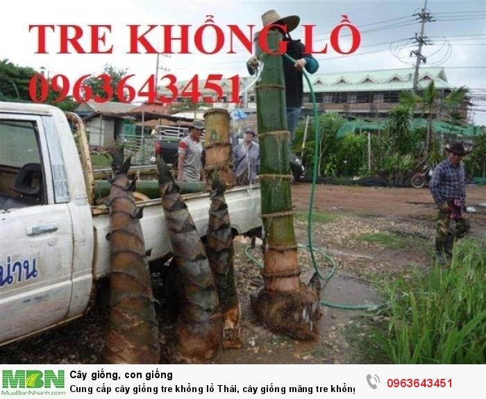 Cung cấp cây giống tre khổng lồ Thái, cây giống măng tre khổng lồ Thái Lan nhập khẩu chuẩn, uy tín1