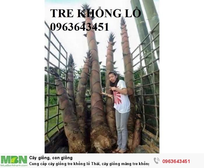 Cung cấp cây giống tre khổng lồ Thái, cây giống măng tre khổng lồ Thái Lan nhập khẩu chuẩn, uy tín3