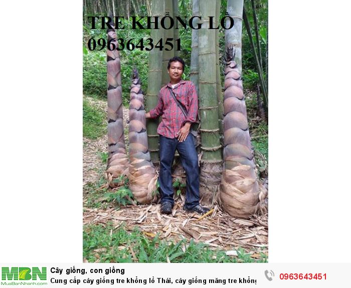 Cung cấp cây giống tre khổng lồ Thái, cây giống măng tre khổng lồ Thái Lan nhập khẩu chuẩn, uy tín2