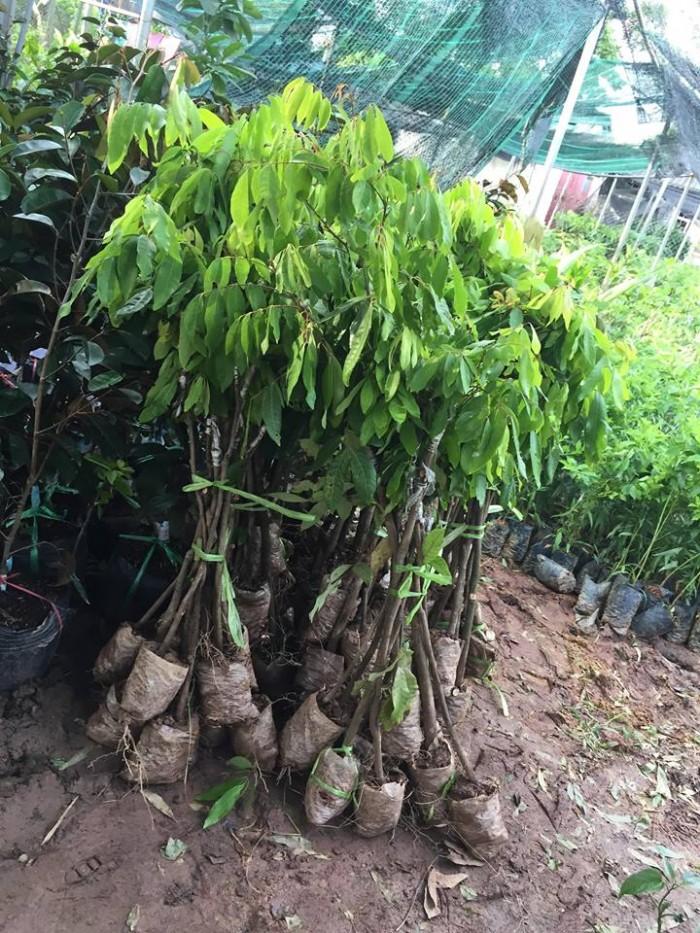 cây giống, con giống nhãn muộn hưng yên3
