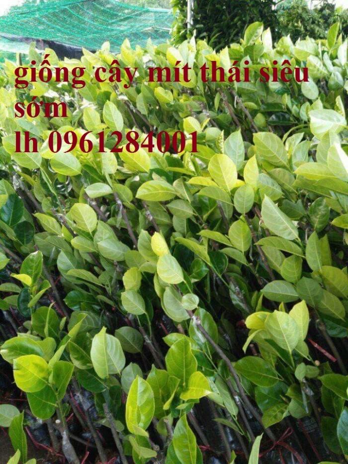 Chuyên cung cấp Giống mít thái ruột đỏ, giống mít không hạt, mít thái, mít trái dài malaysia8