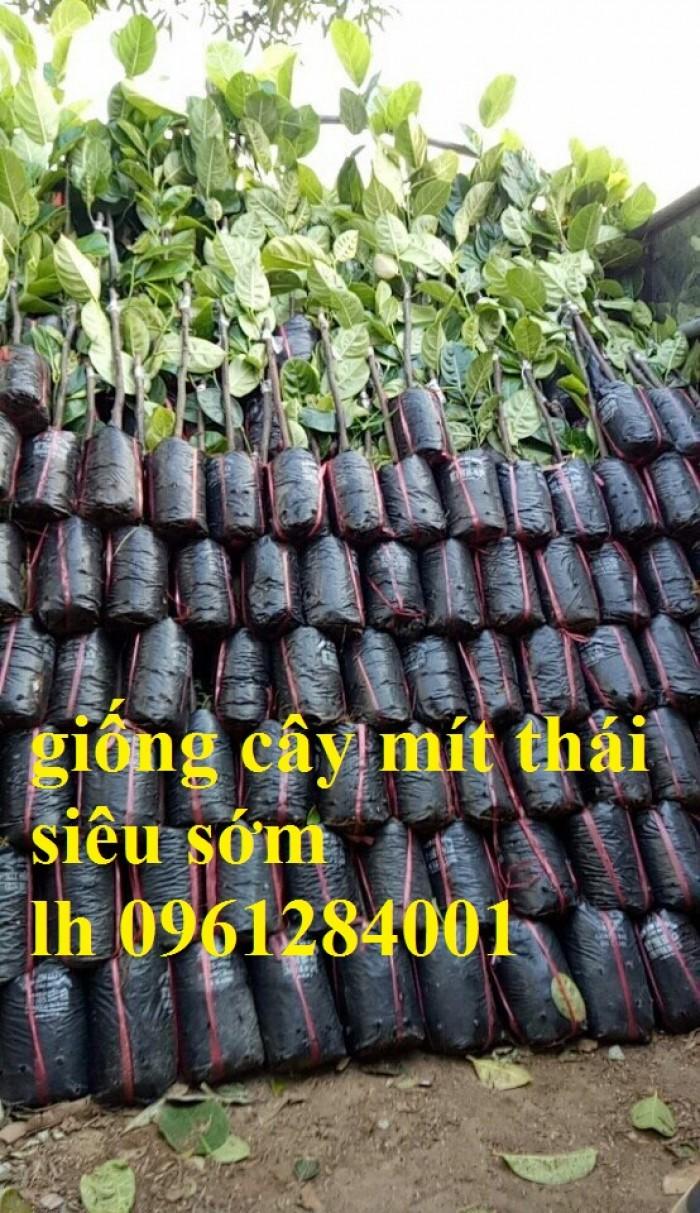 Chuyên cung cấp Giống mít thái ruột đỏ, giống mít không hạt, mít thái, mít trái dài malaysia9