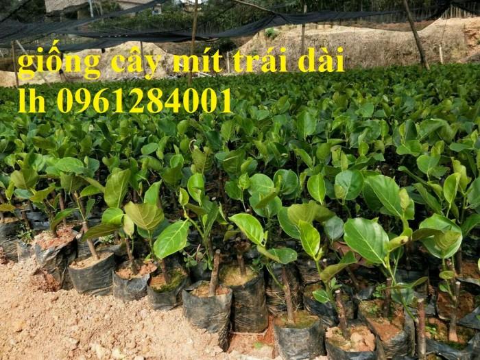Chuyên cung cấp Giống mít thái ruột đỏ, giống mít không hạt, mít thái, mít trái dài malaysia11