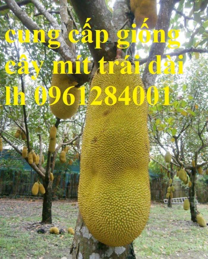 Chuyên cung cấp Giống mít thái ruột đỏ, giống mít không hạt, mít thái, mít trái dài malaysia14