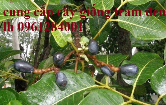 Bán giống cây trám đen, số lượng lớn, giao cây toàn quốc.14