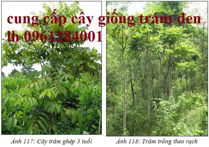 Bán giống cây trám đen, số lượng lớn, giao cây toàn quốc.15