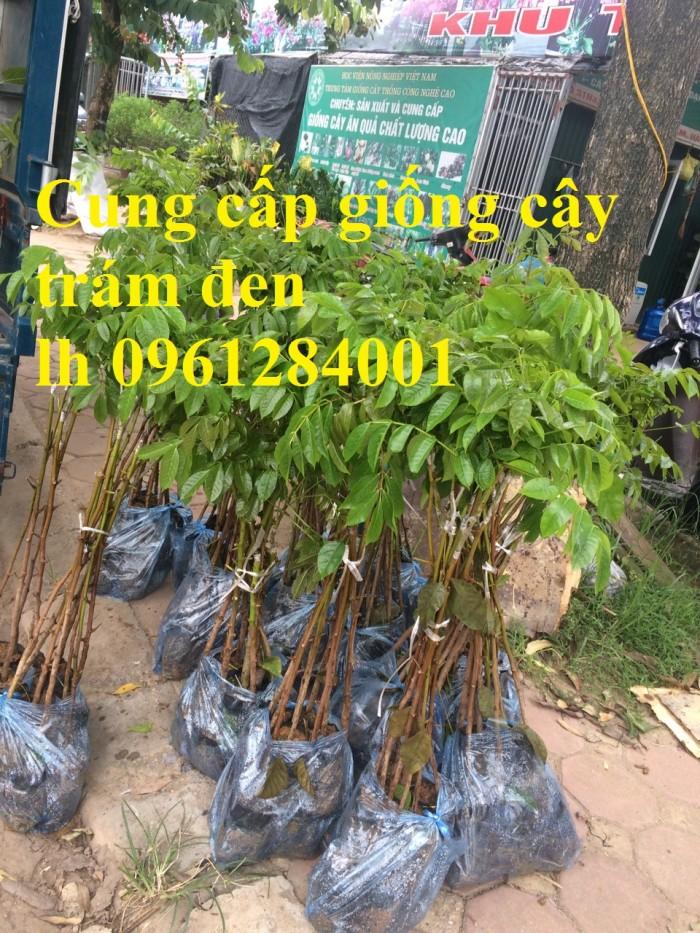 cây giống trám đen17