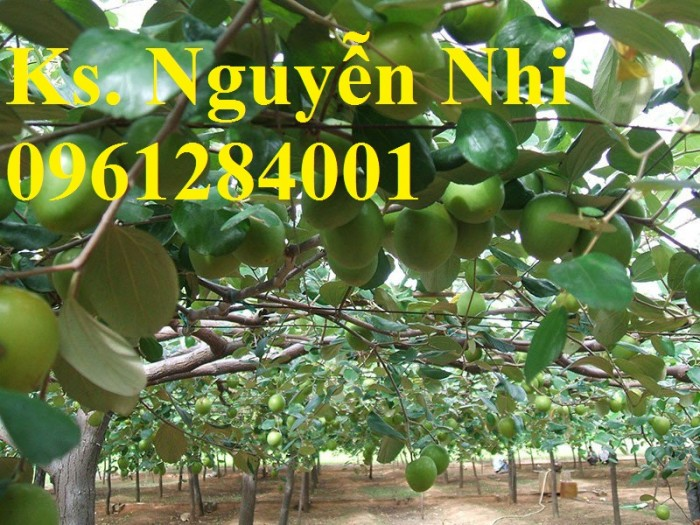 Bán cây giống táo thái lan, số luợng lớn, giao cây toàn quốc.5