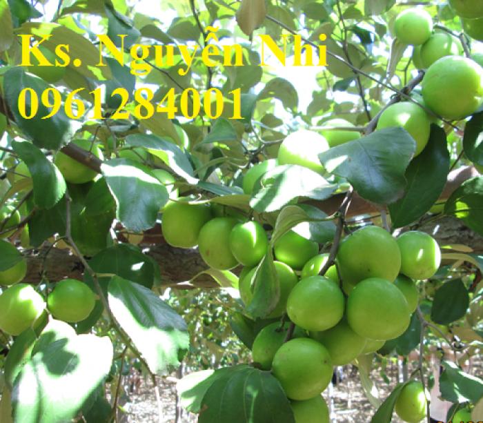 Bán cây giống táo thái lan, số luợng lớn, giao cây toàn quốc.4
