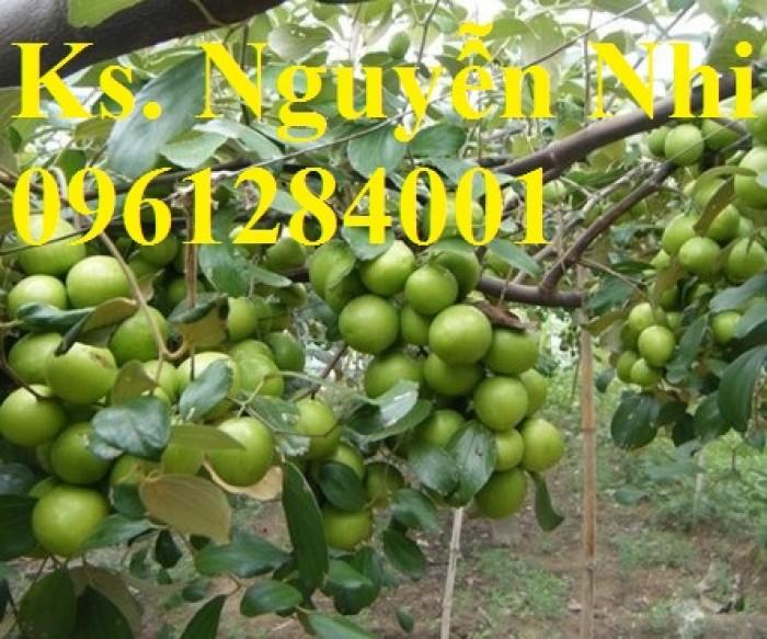 Bán cây giống táo thái lan, số luợng lớn, giao cây toàn quốc.8