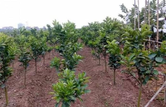 Viện cây giống trung ương, cung cấp giống cam v2 chín muộn. chuẩn giống7