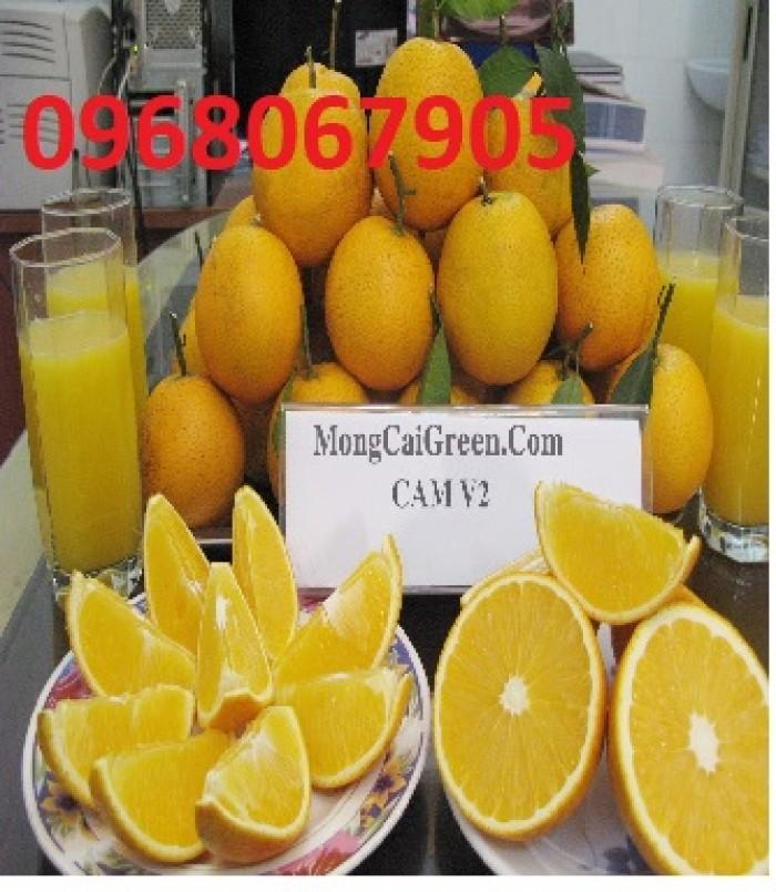 Viện cây giống trung ương, cung cấp giống cam v2 chín muộn. chuẩn giống4