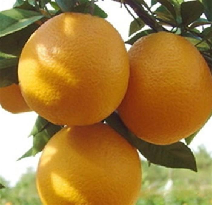 Viện cây giống trung ương, cung cấp giống cam v2 chín muộn. chuẩn giống6