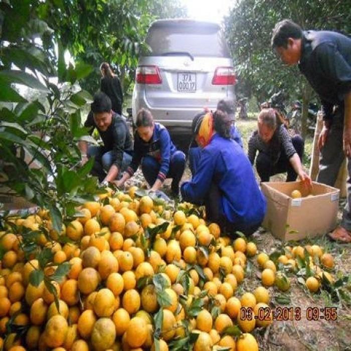 Viện cây giống trung ương, cung cấp giống cam v2 chín muộn. chuẩn giống3