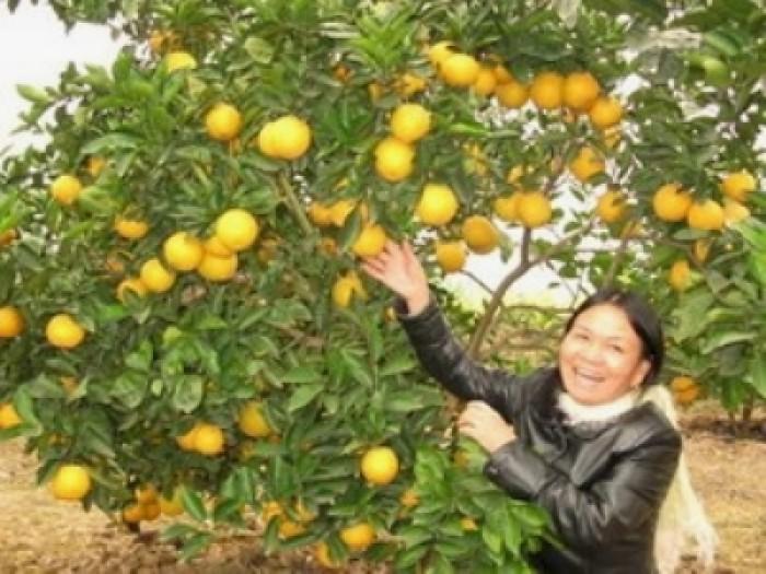 Viện cây giống trung ương, cung cấp giống cam v2 chín muộn. chuẩn giống0