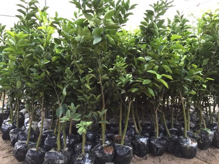 Viện cây giống trung ương, cung cấp giống cam vinh chuẩn giống, số lượng lớn1