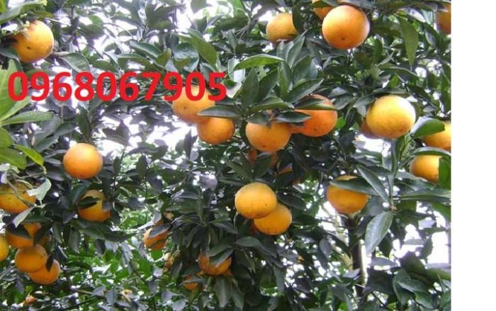 Viện cây giống trung ương, cung cấp giống cam vinh chuẩn giống, số lượng lớn3