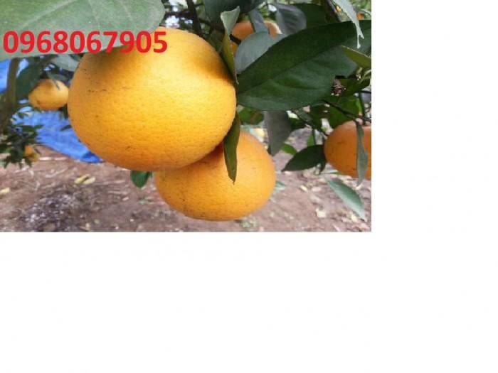 Viện cây giống trung ương, cung cấp giống cam vinh chuẩn giống, số lượng lớn4