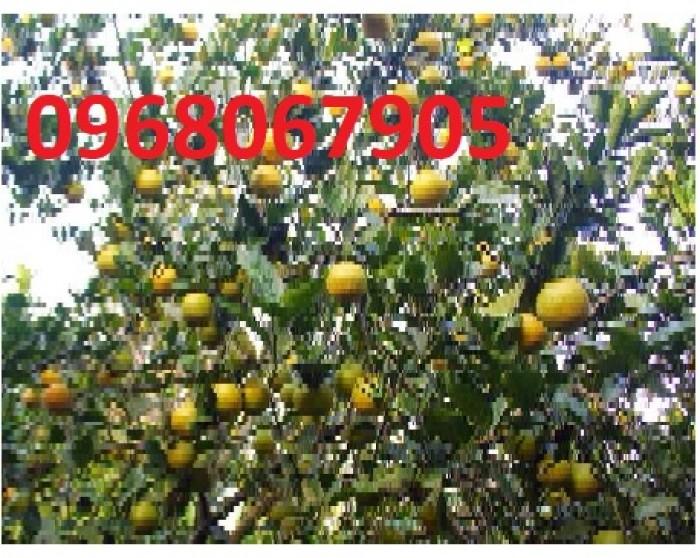 Viện cây giống trung ương, cung cấp giống cam vinh chuẩn giống, số lượng lớn5