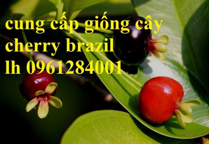 Giống cây nhập khẩu cherry brazil, cherry nhiệt đới3