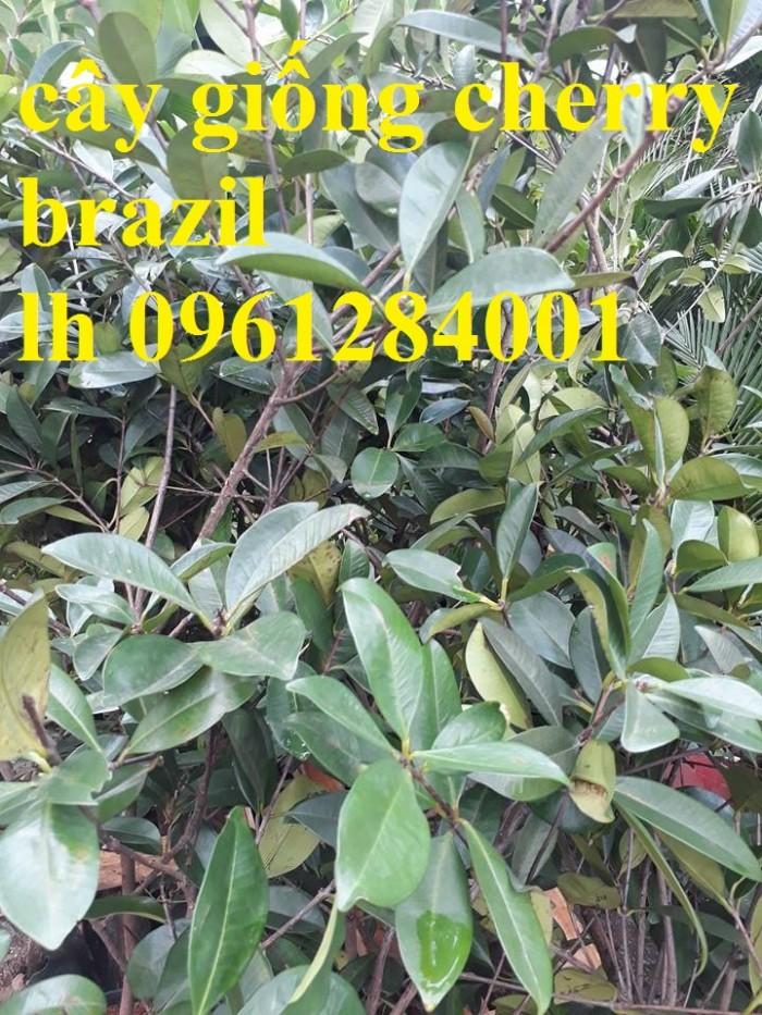 Giống cây nhập khẩu cherry brazil, cherry nhiệt đới4