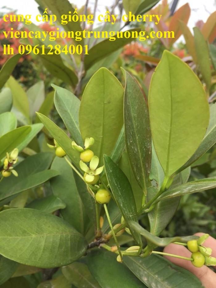 Giống cây nhập khẩu cherry brazil, cherry nhiệt đới8