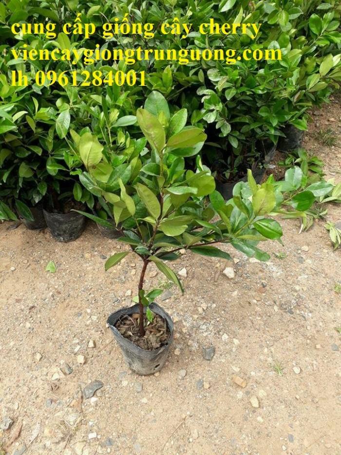 Giống cây nhập khẩu cherry brazil, cherry nhiệt đới10
