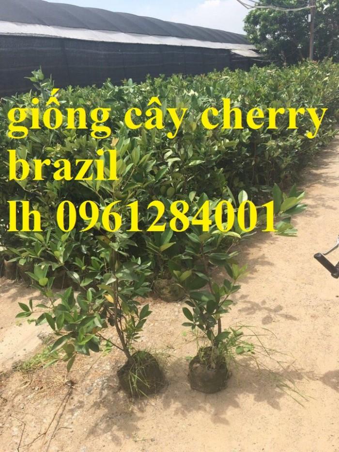 Giống cây nhập khẩu cherry brazil, cherry nhiệt đới18