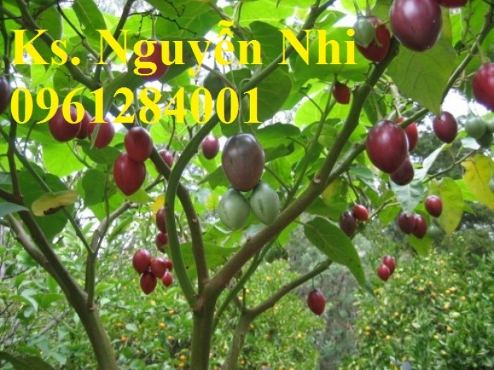 Địa chỉ cung cấp giống cây cà chua thân gỗ uy tín, chất lượng13