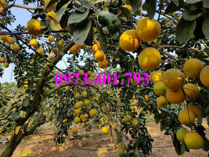 Giống cây bưởi diễn ( cây choai ), bưởi diễn, cây bưởi diễn, cây bưởi, kĩ thuật trồng bưởi8