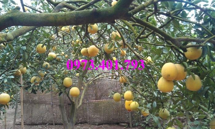 Giống cây bưởi diễn ( cây choai ), bưởi diễn, cây bưởi diễn, cây bưởi, kĩ thuật trồng bưởi10