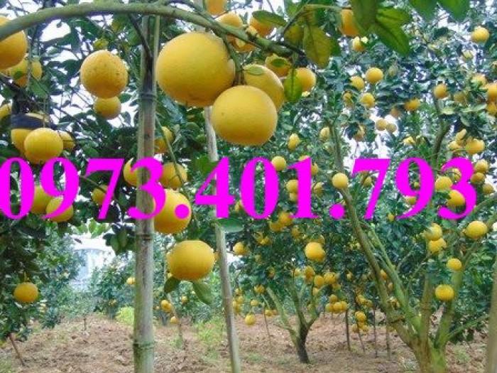 Giống cây bưởi diễn ( cây choai ), bưởi diễn, cây bưởi diễn, cây bưởi, kĩ thuật trồng bưởi11