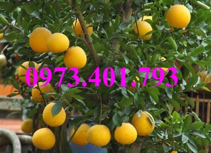 Giống cây bưởi diễn ( cây choai ), bưởi diễn, cây bưởi diễn, cây bưởi, kĩ thuật trồng bưởi12