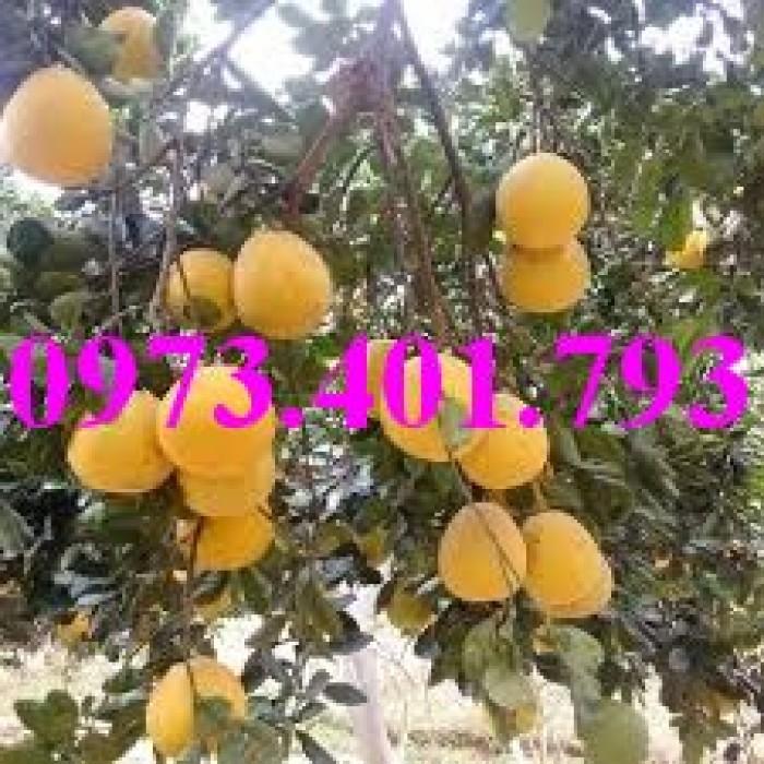 Giống cây bưởi diễn ( cây choai ), bưởi diễn, cây bưởi diễn, cây bưởi, kĩ thuật trồng bưởi15