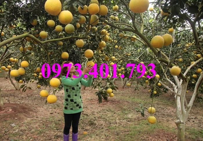 Giống cây bưởi diễn ( cây choai ), bưởi diễn, cây bưởi diễn, cây bưởi, kĩ thuật trồng bưởi14